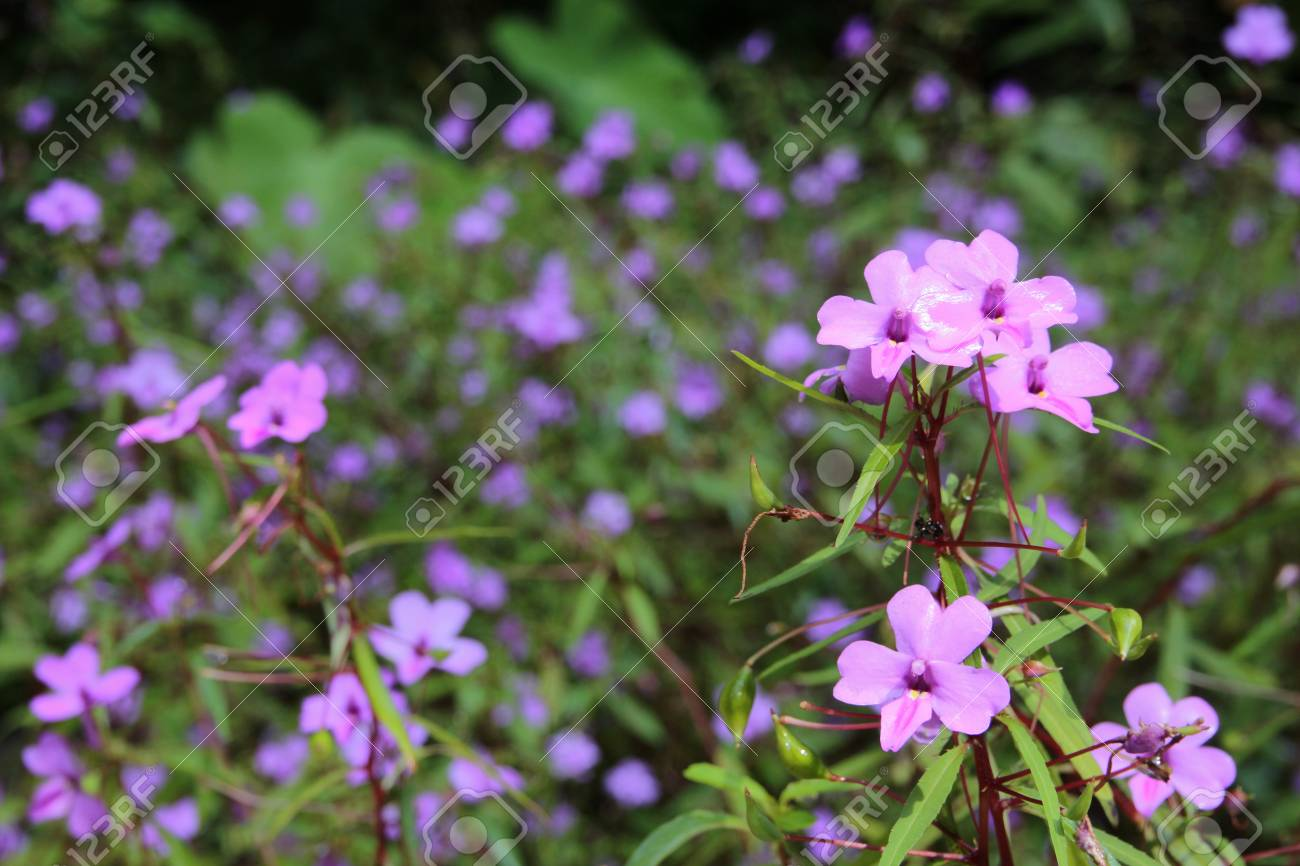 Little Purple Flowers Stock Photo Picture And Royalty Free Image