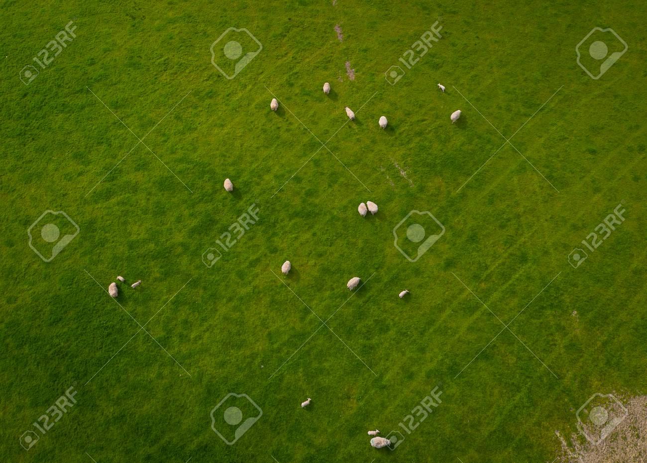 Herd Of Sheep Aerial view - 105128390