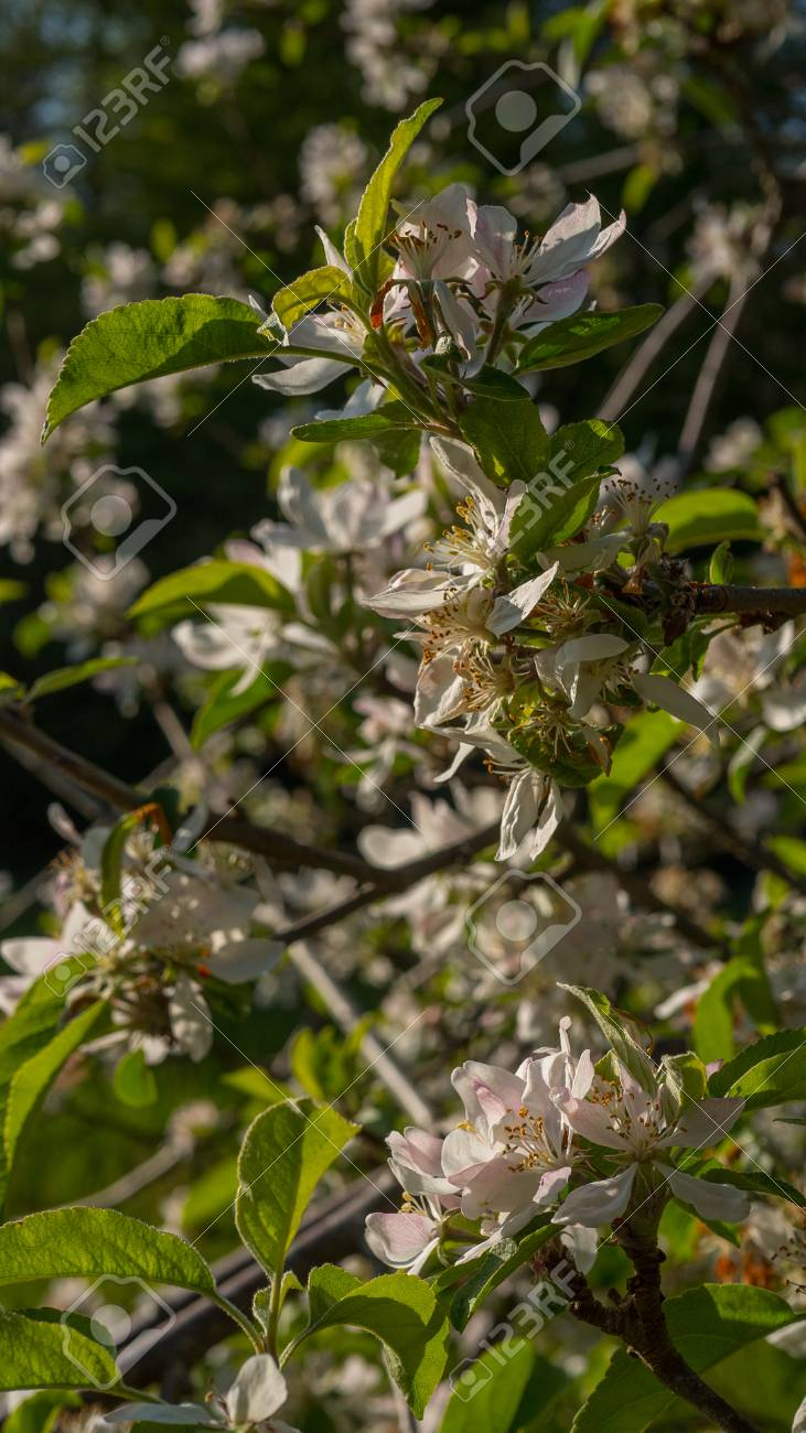 Apple blossoms blooming in summer - 80466216