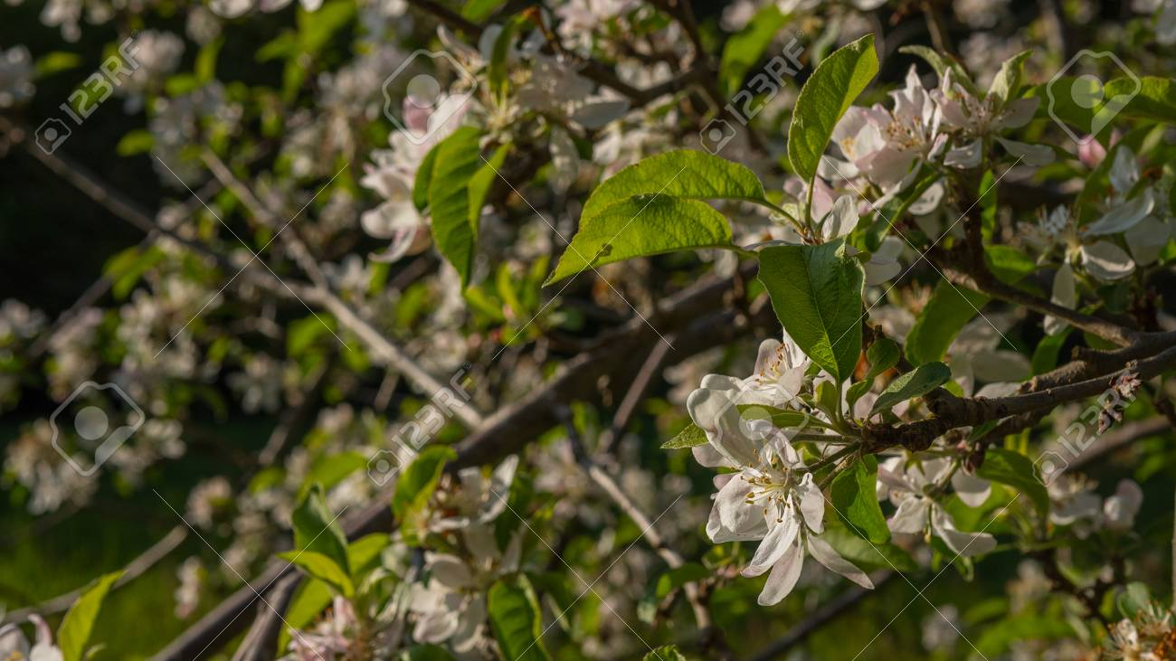 Apple blossoms blooming in summer - 80466127