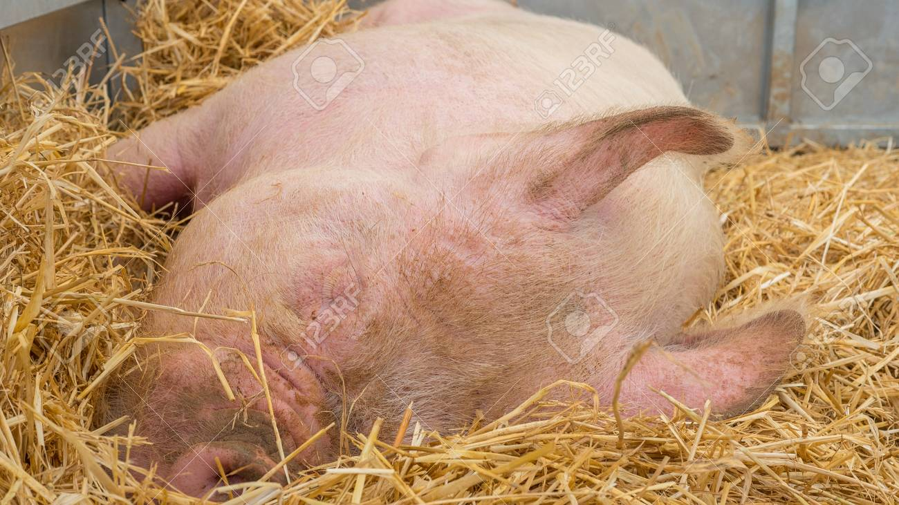 Young pig on hay and straw at pig show - 80416075