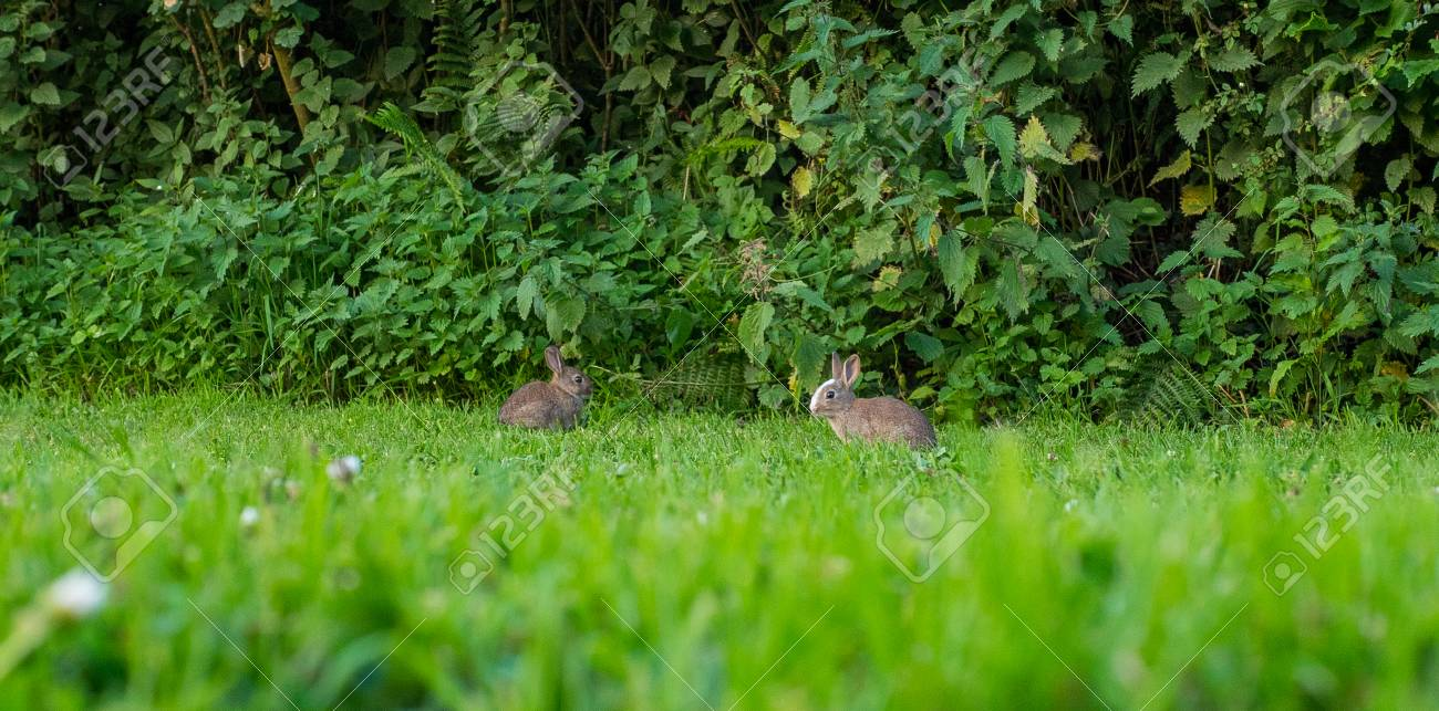 Pair of two baby rabbits eating grass - 81774790
