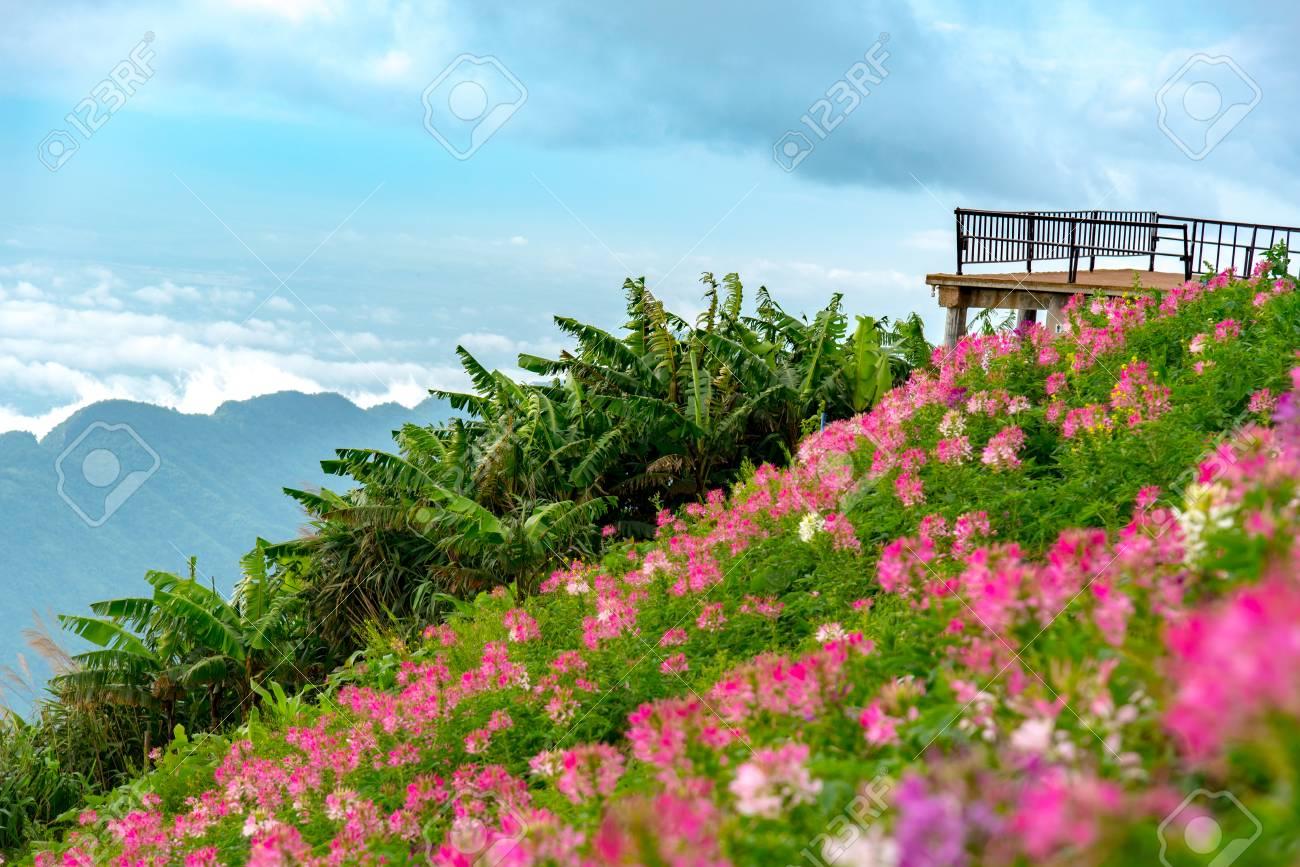 Point de vue terrasse avec jardin fleuri rose à la colline. Beau ciel bleu  et mer de brouillard vue sur la montagne dans la matinée. Lumière matinale  ...