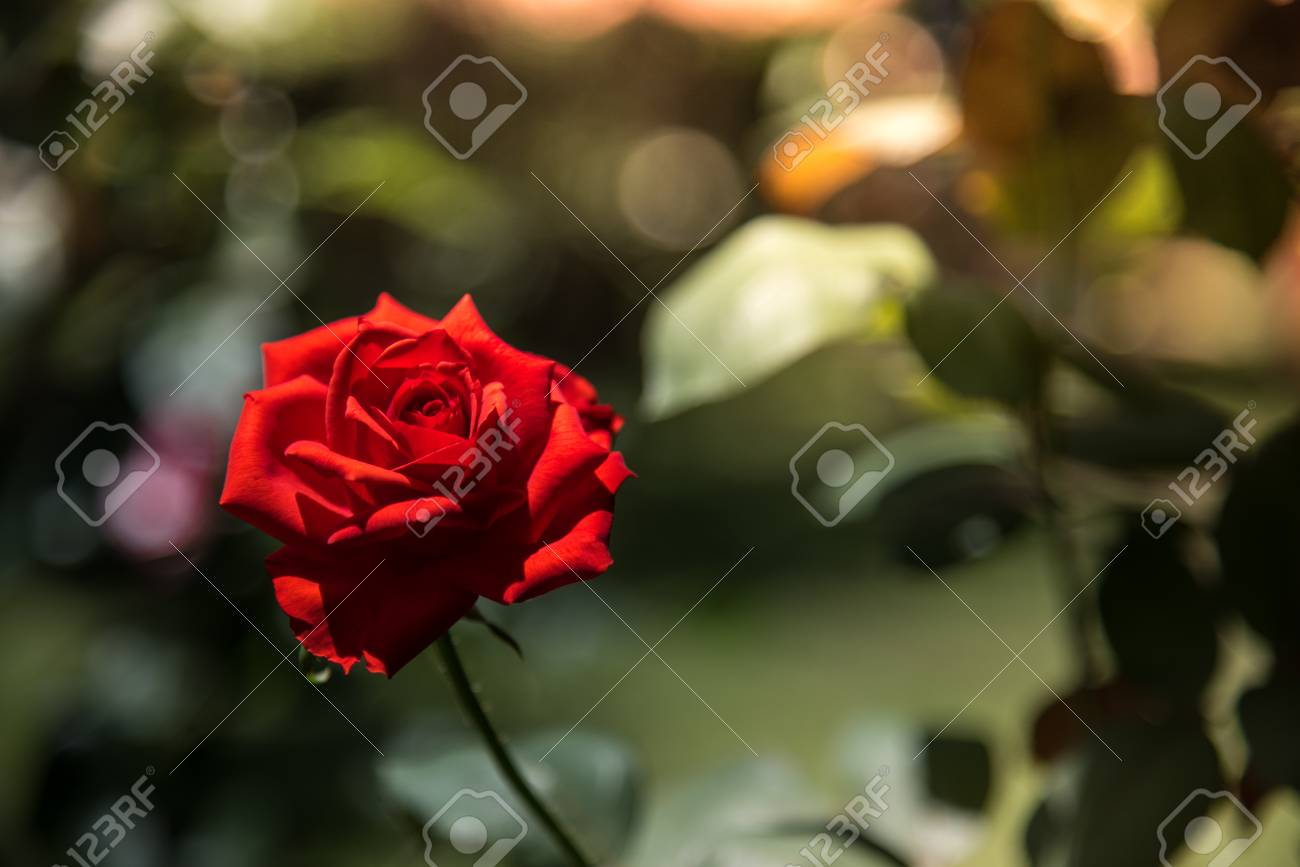 Valentine Romantic Red Rose In The Garden Background Beauty Stock
