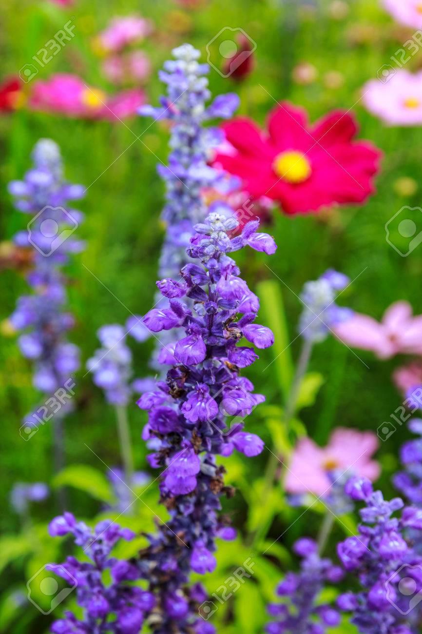 写真素材 , 冬の庭の自然な明るい紫の花のフィールドです。