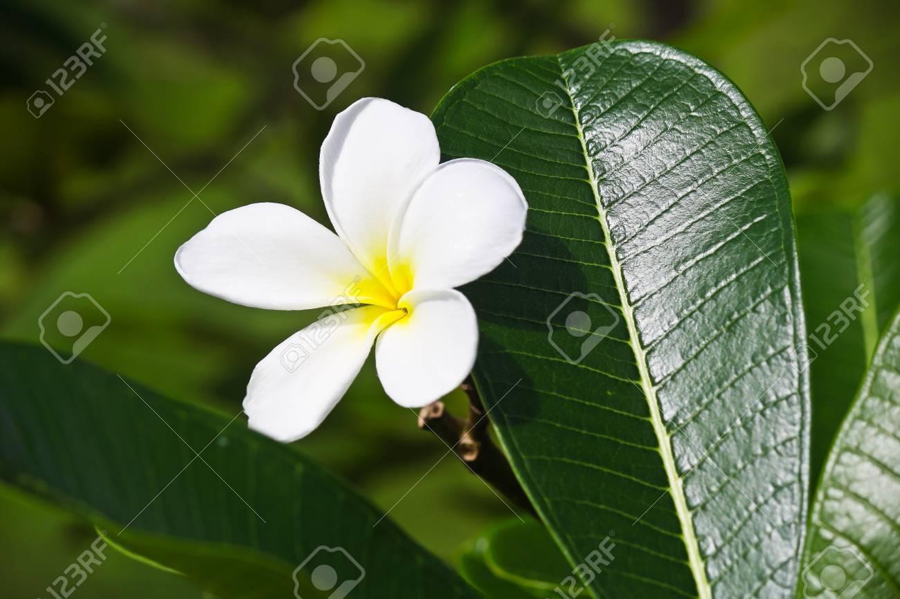 The Plumeria Has Five Petals Yellow Middle Outside White Plumeria