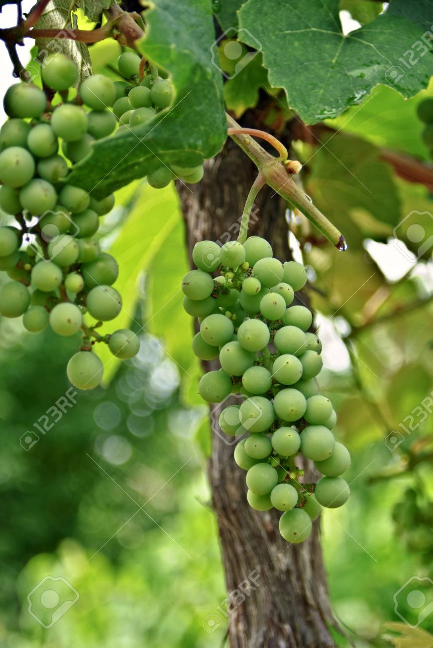 Green muscadines hanging on the vine. Stock Photo - 8575249