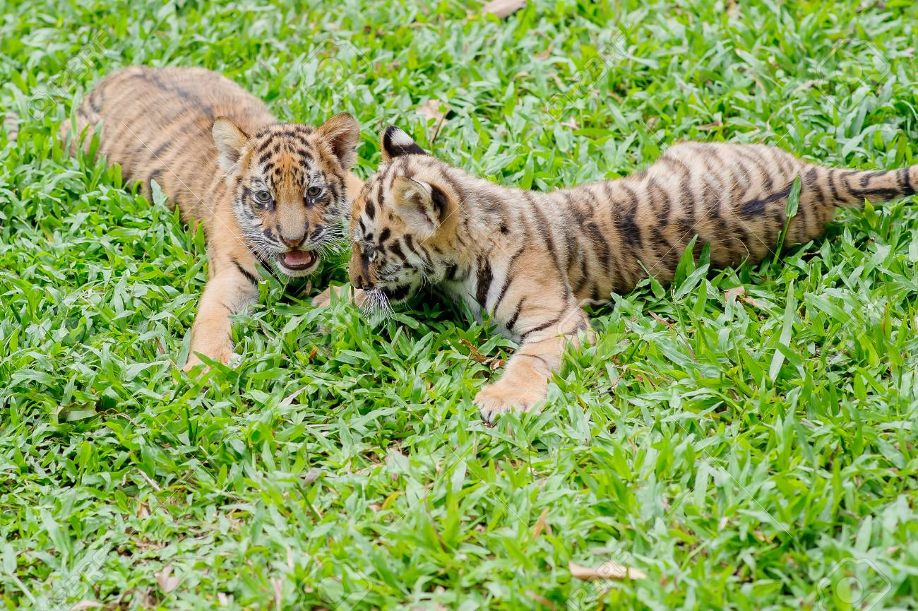Baby Tiger Is Running Very Cute Stock Photo Picture And Royalty Free Image Image 94243171