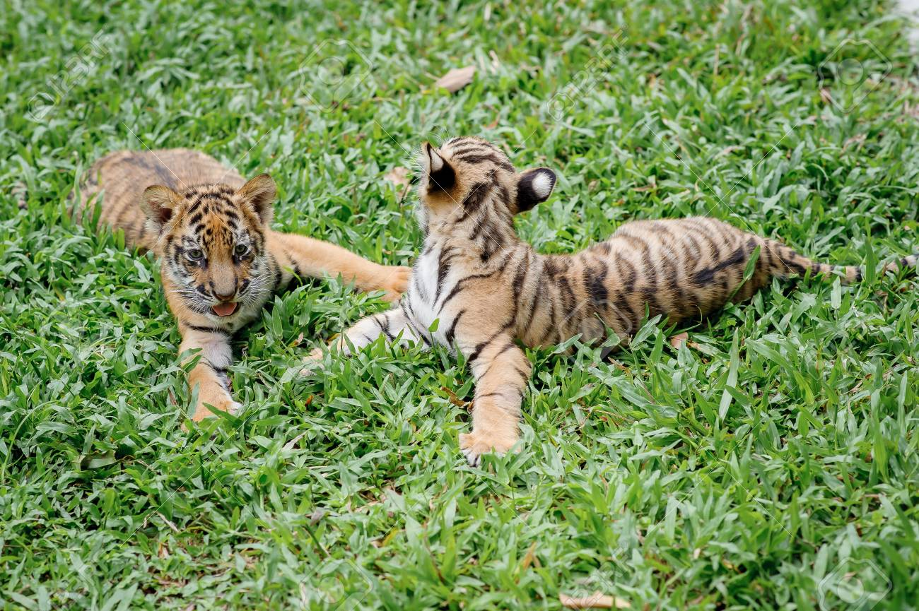 Baby Tiger Is Running Very Cute Stock Photo Picture And Royalty Free Image Image 94389953