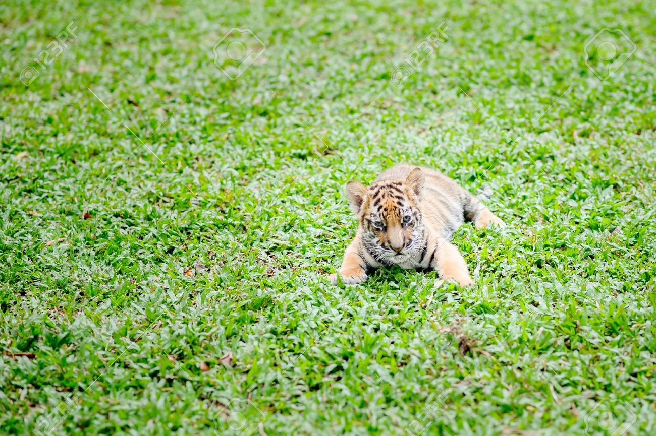 Baby Tiger Is Running Very Cute Stock Photo Picture And Royalty Free Image Image 94302869