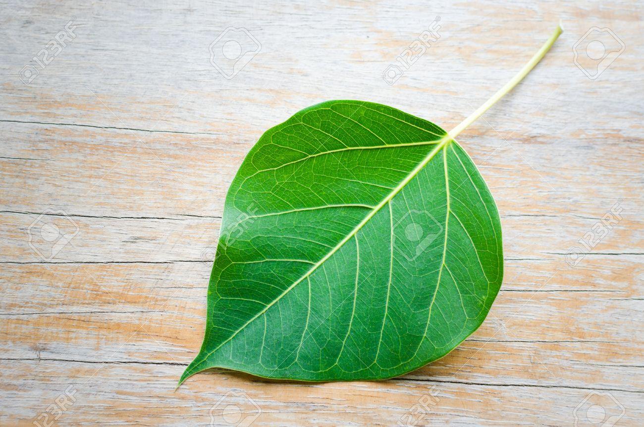 sacred fig leaf ficus religiosa l peepal tree bodhi tree