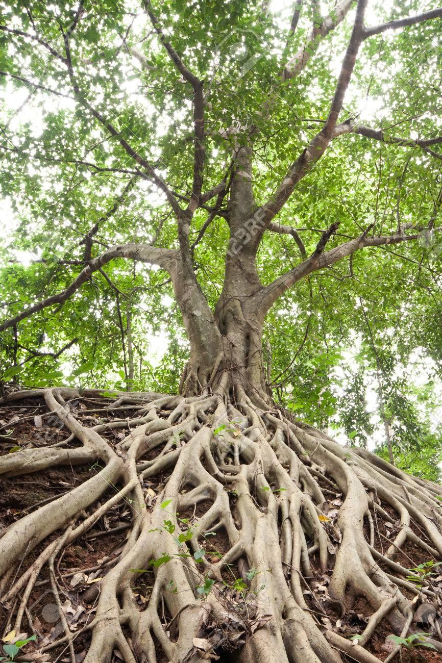 Las Raíces Del árbol De Higuera De Bengala, Que Apareció En El Suelo.  Fotos, Retratos, Imágenes Y Fotografía de Archivo Libres de Derecho.  Imagen 32143541.