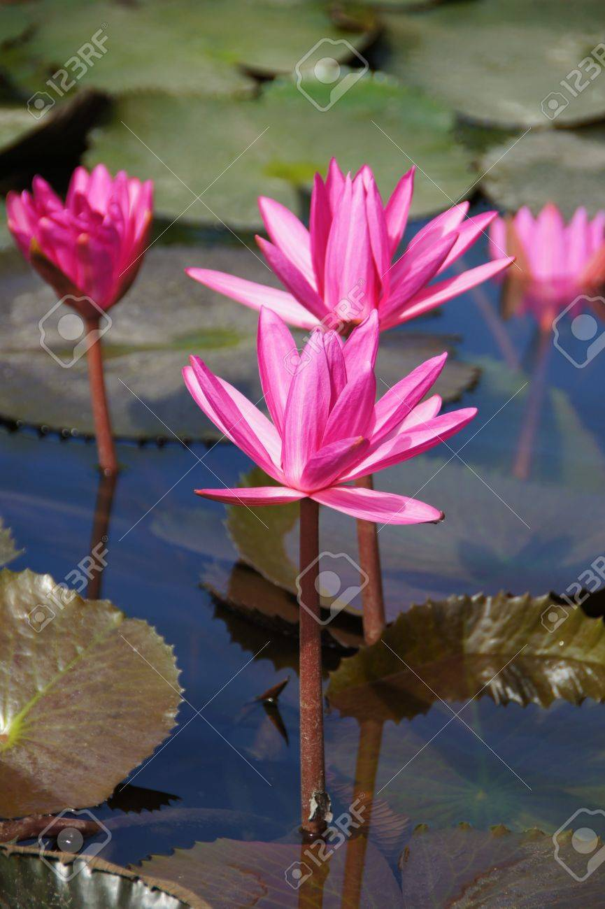 Water Lily Flower Lotus The Lotus Flower Water Lily Is National