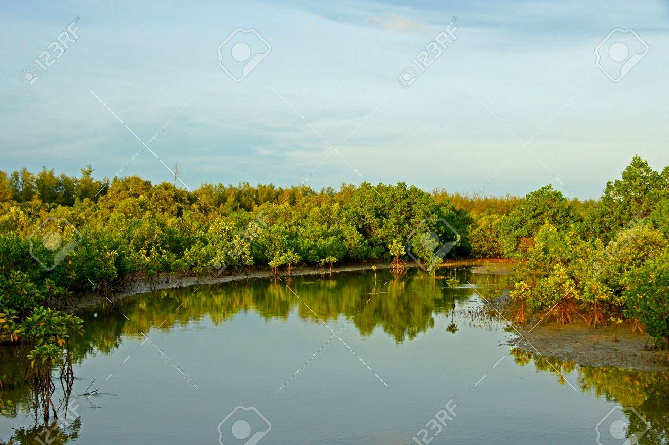 Mangrove forest topical rainforest for background, Ta lum pook promontory of Thailand. Stock Photo - 15857519