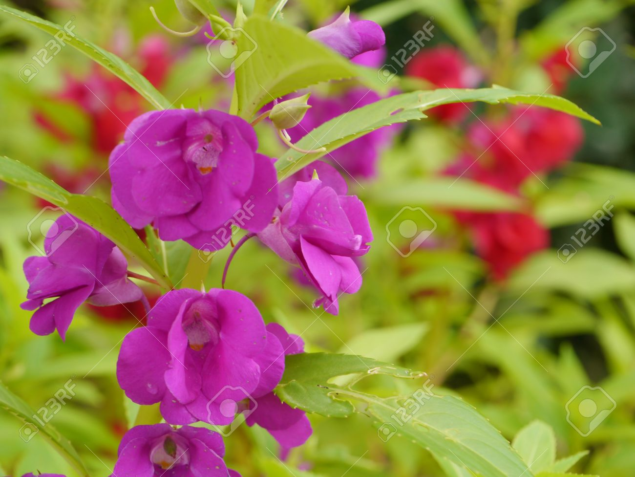 Violet flower of Impatiens balsamina. Stock Photo - 16327881