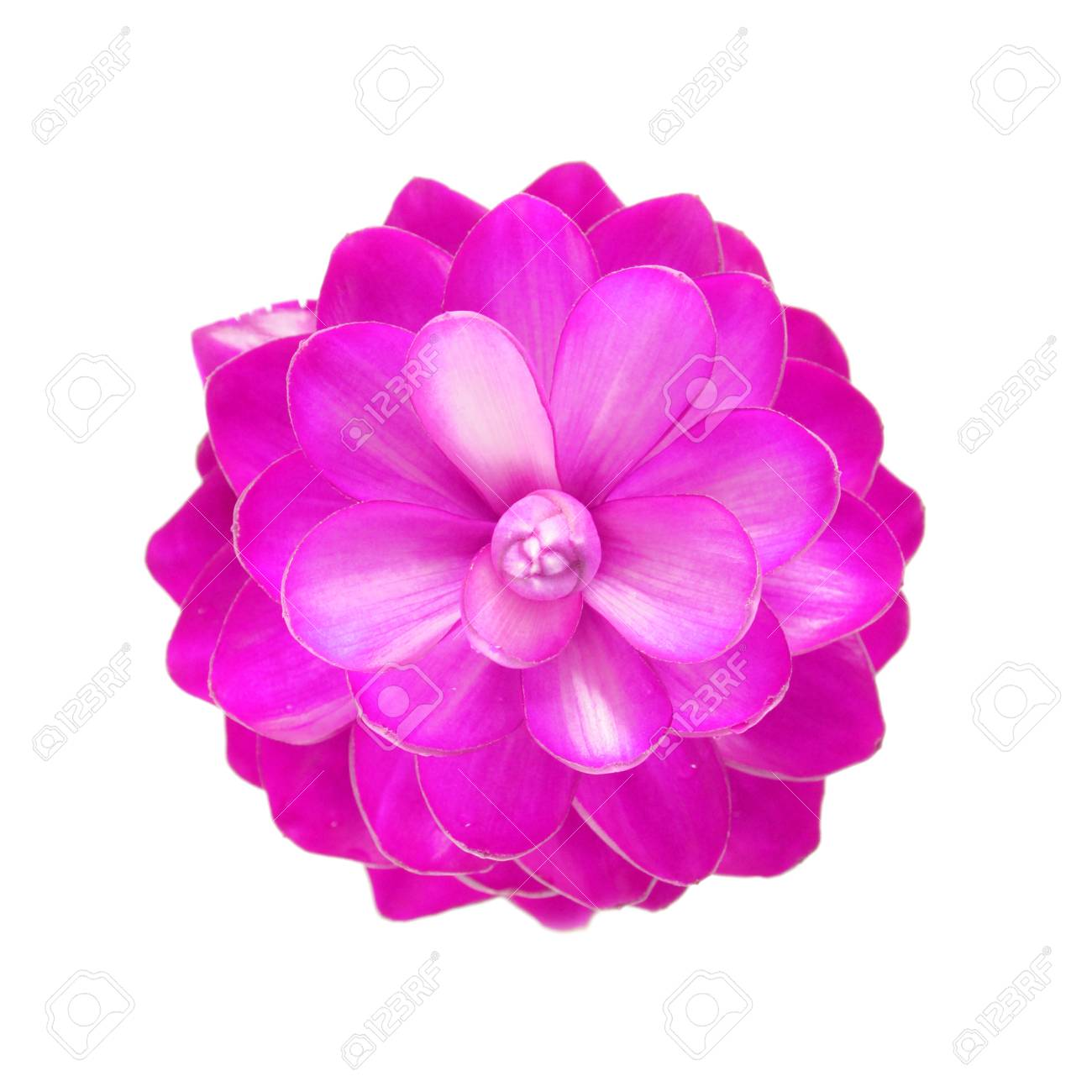 Pink Ginger Flower Stock Photo Picture And Royalty Free Image