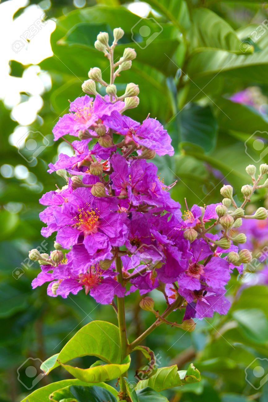 Pink Color Of Queen\'s Crape Myrtle Flower.(Lagerstroemia Speciosa ...