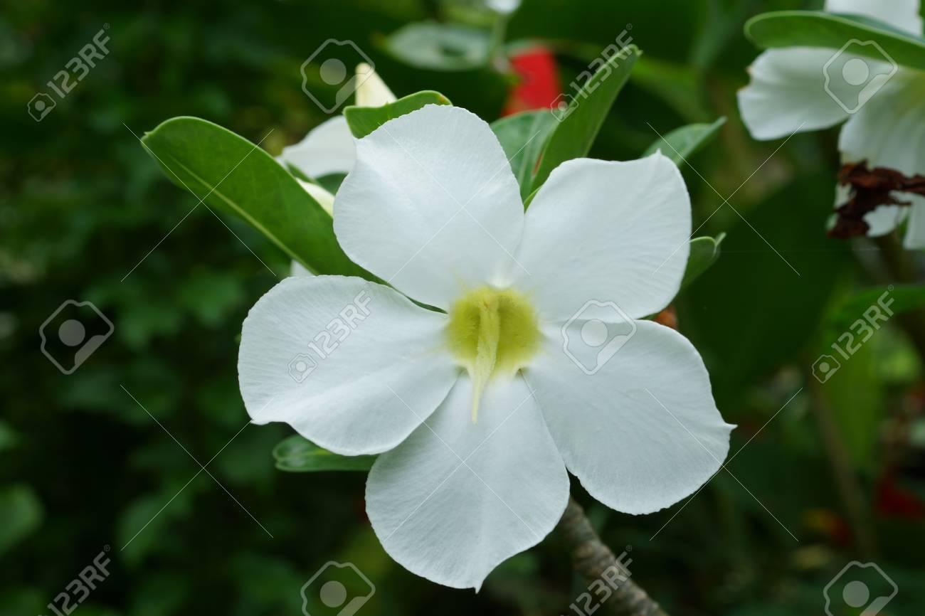 Closeup White Desert Rose Flowers Impala Lily Mock Azalea Stock