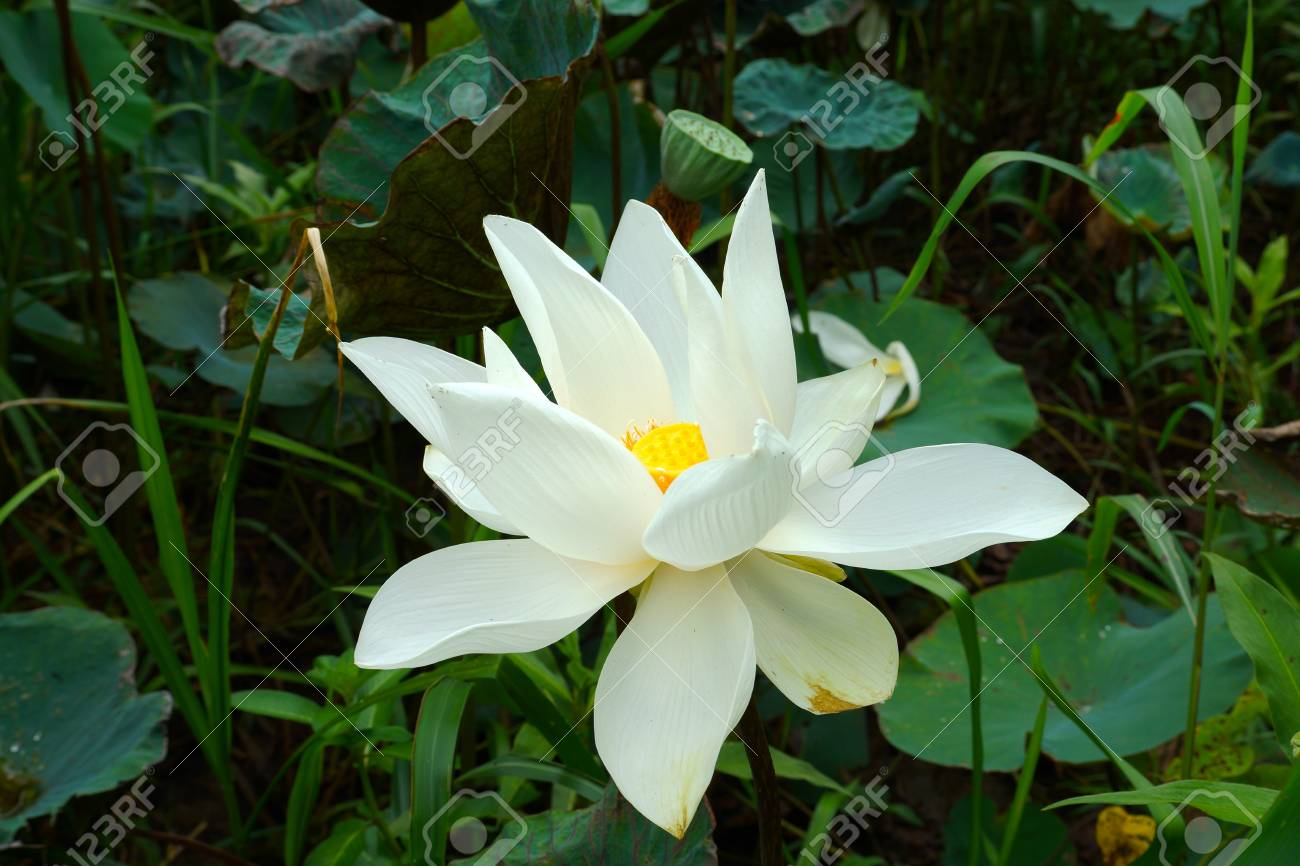 Hermosa Flor De Loto Blanca Budista Símbolo Religioso Fotos