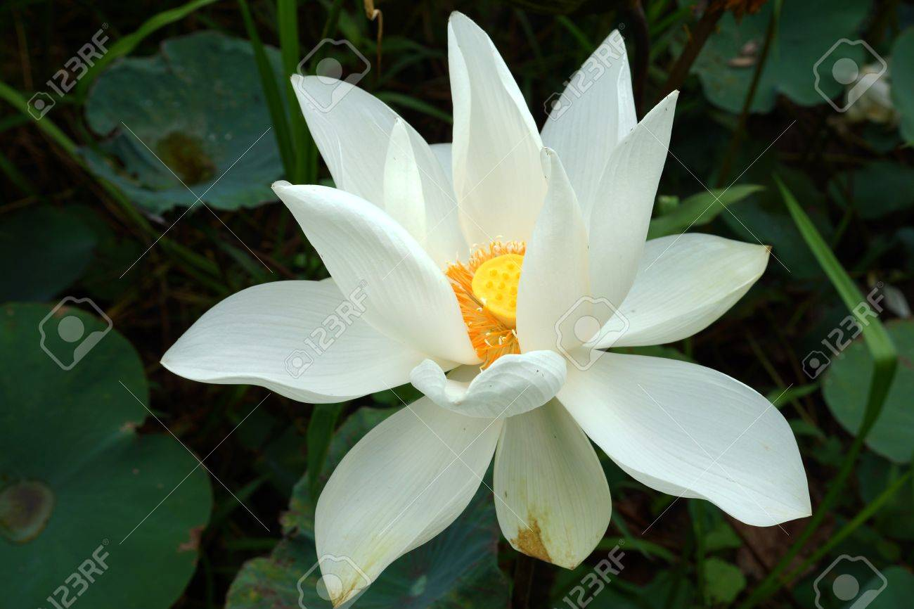 White Beautiful Lotus Flower Buddhist Religious Symbol Stock Photo