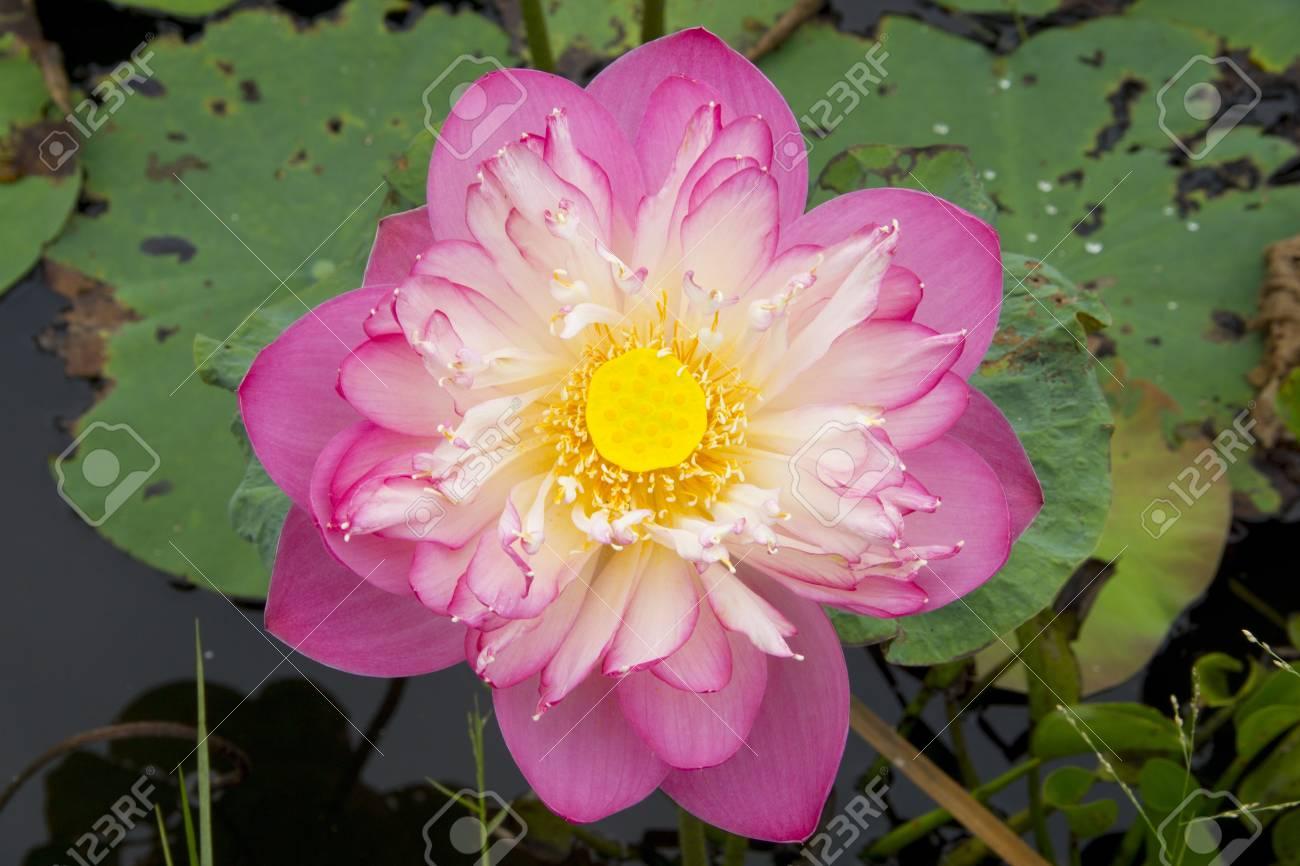 Pink Flor De Loto Hermosa Budista Símbolo Religioso Fotos