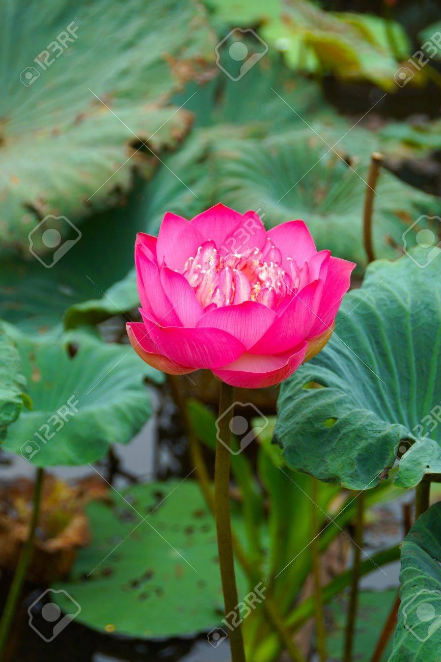 Flor De Loto Rosada Hermosa Símbolo Religioso Budista Fotos