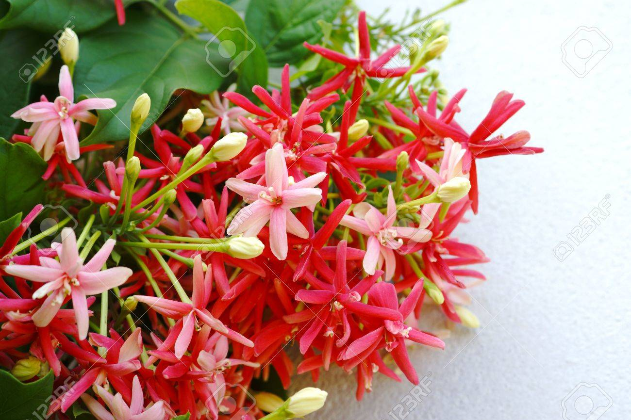 Fragrant Flowers Change Color Of Rangoon Creeper. Stock Photo ...