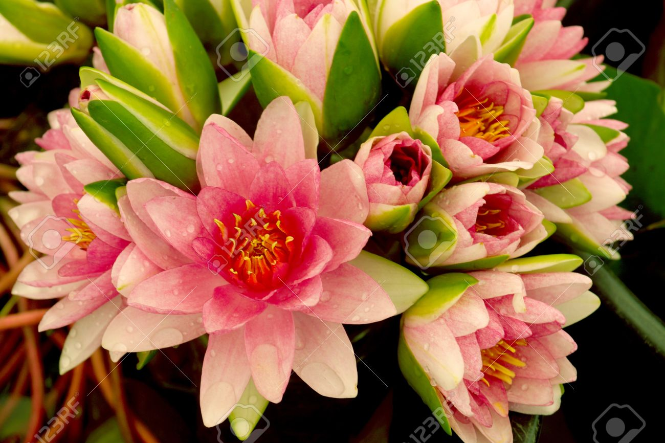 Bouquet Of Pink Lotus Flower Stock Photo Picture And Royalty Free