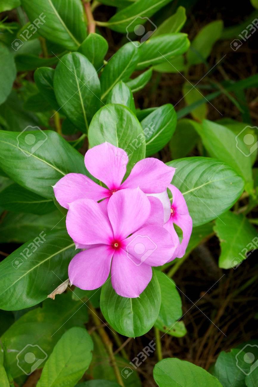 Beautiful Pink Vinca Flowers Madagascar Periwinkle Stock Photo