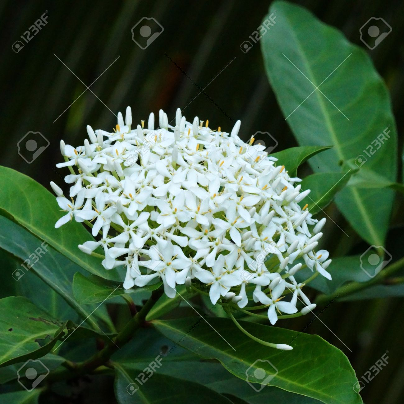 Very fragrant white flowers name siamese white ixora scientific very fragrant white flowers name siamese white ixora scientific name ixora finlaysoniana wall mightylinksfo