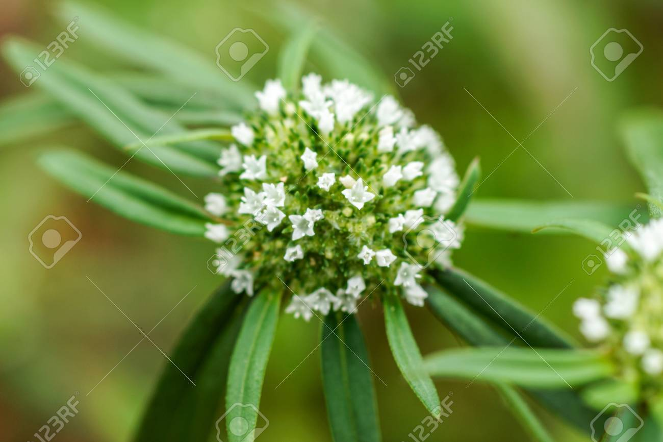 White Flowers In The Grass False Button Weed Stock Photo Picture