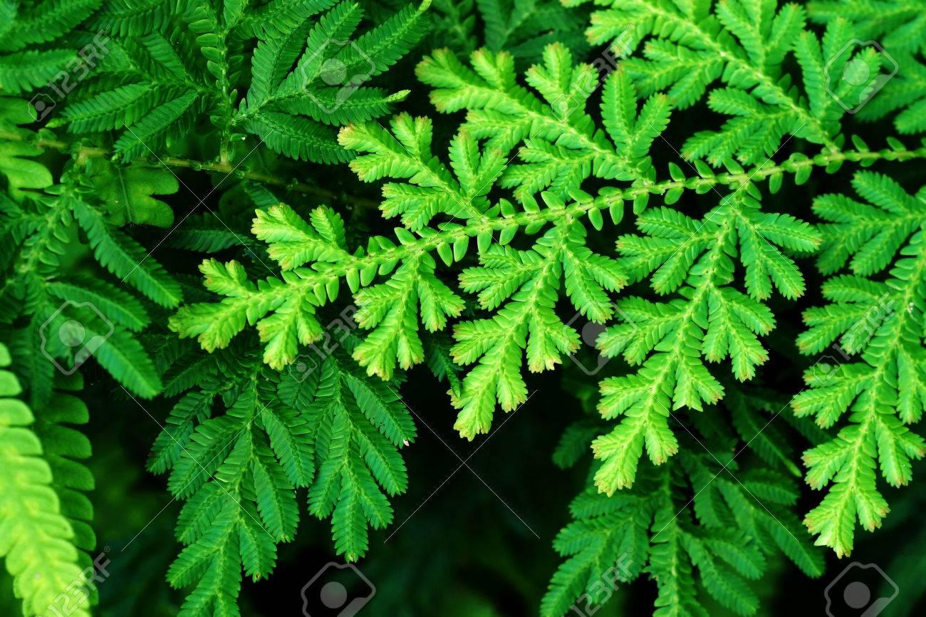 Golden Club Moss, Krauss' Spikemoss, Trailing Spike Moss ...
