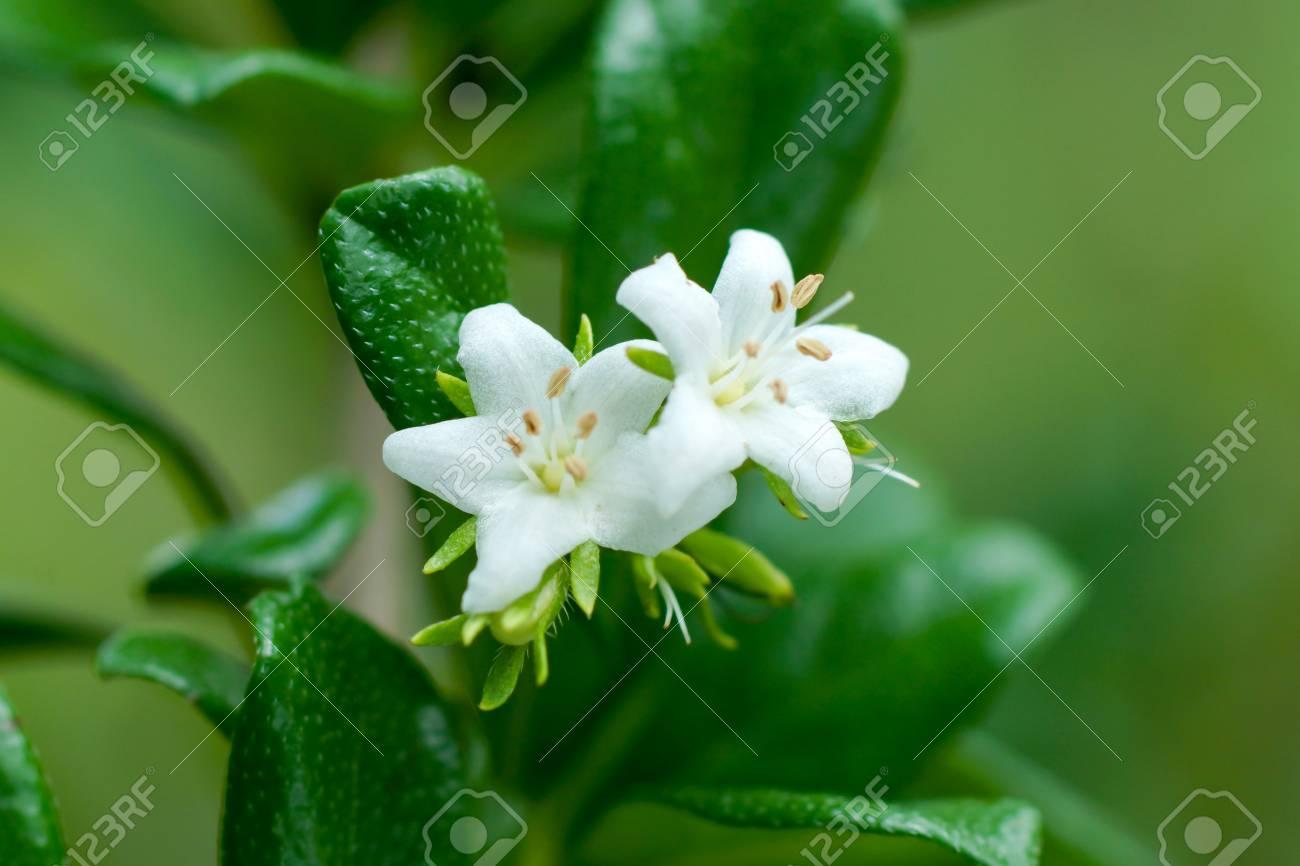 White Flower Of Ornamental Varieties For Gardening Carmonretusa