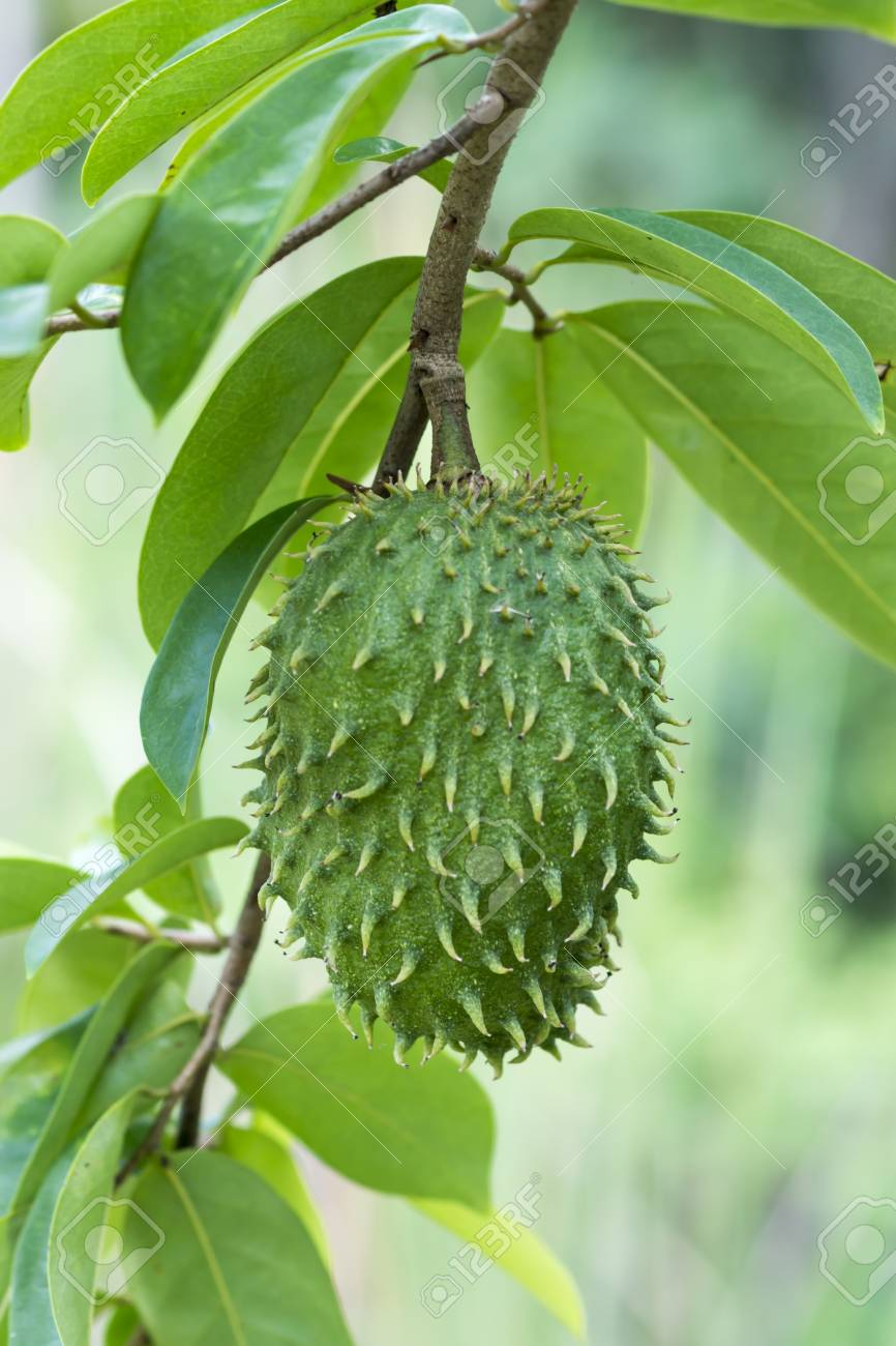 Custard Apple Pictures