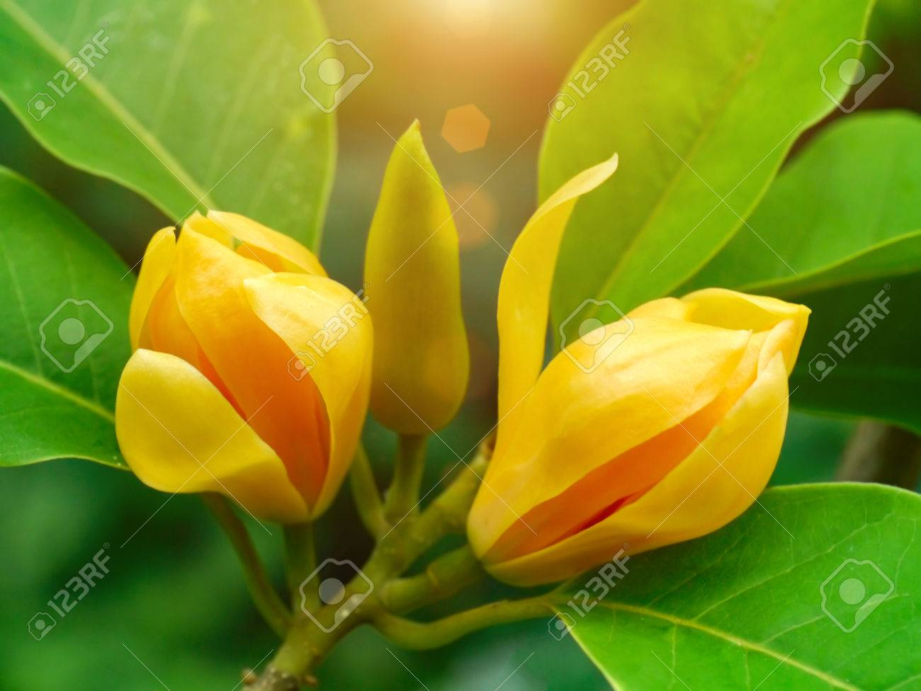 Fragrant Yellow Flowers Refreshing Are Blooming Champaka Stock