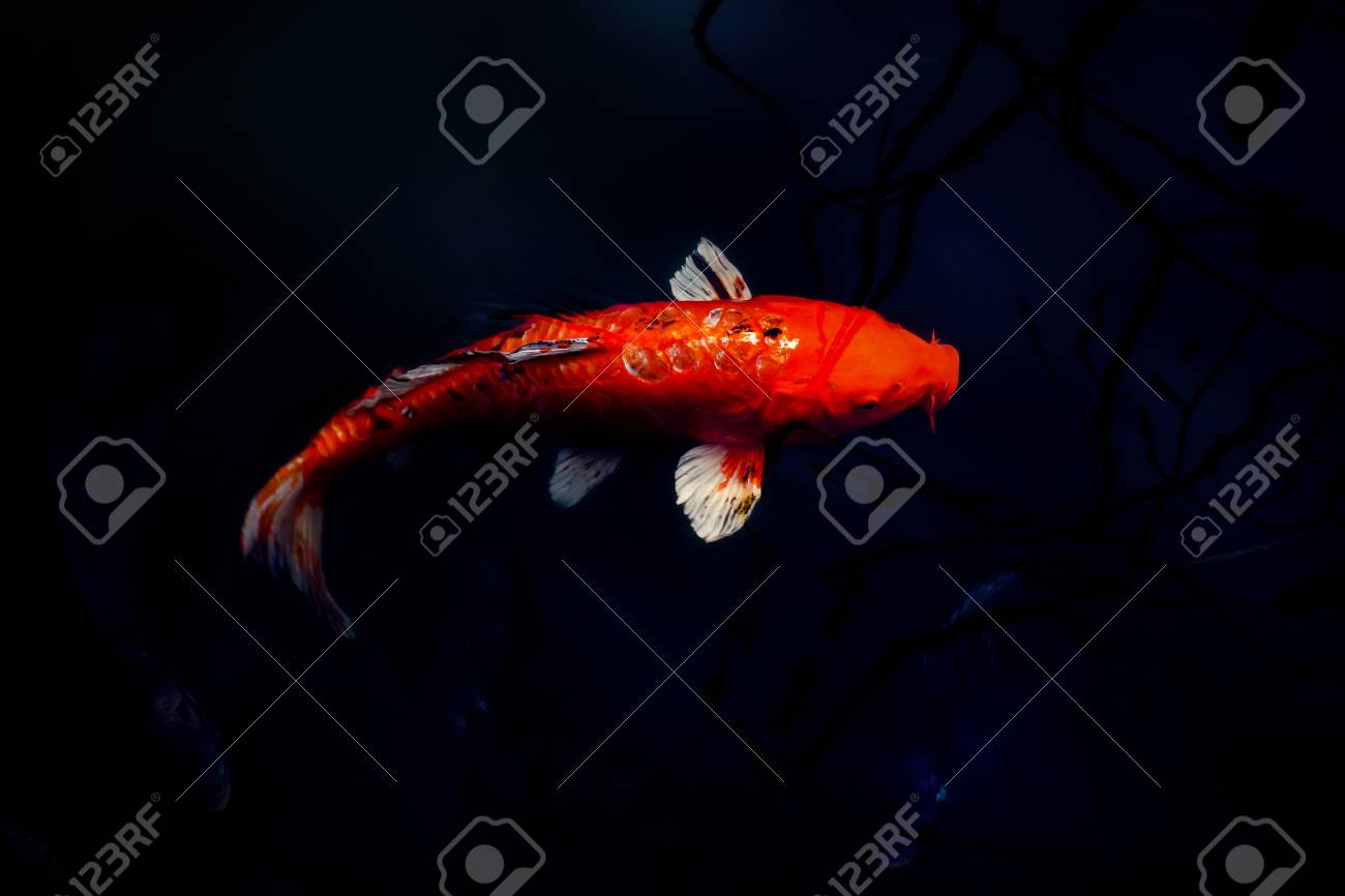 Red Koi Carp, Symbols Of Good Luck And Prosperity In Japan In ...