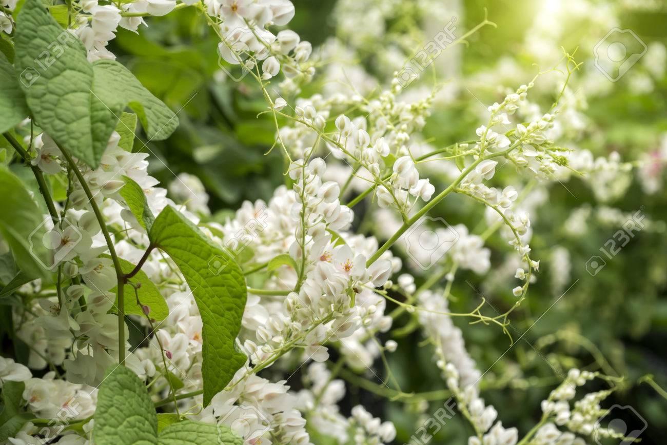 White mexican creeper flowers stock photo picture and royalty free stock photo white mexican creeper flowers mightylinksfo