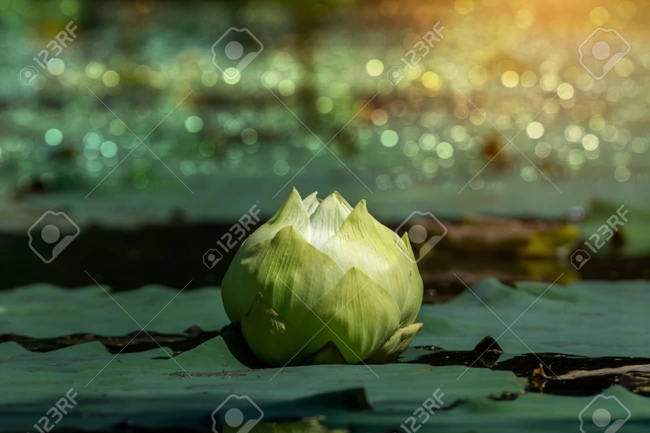 Green Lotus Flower Magnolia Lotus Album Plenum Scientific
