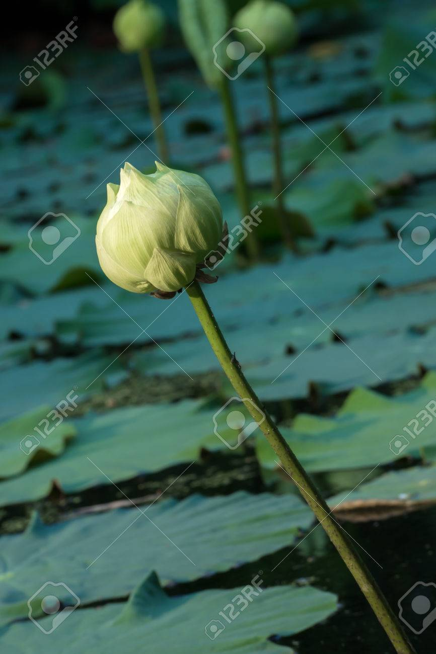 Green lotus flower magnolia lotus album plenum scientific green lotus flower magnolia lotus album plenum scientific name nelumbo nueifera mightylinksfo