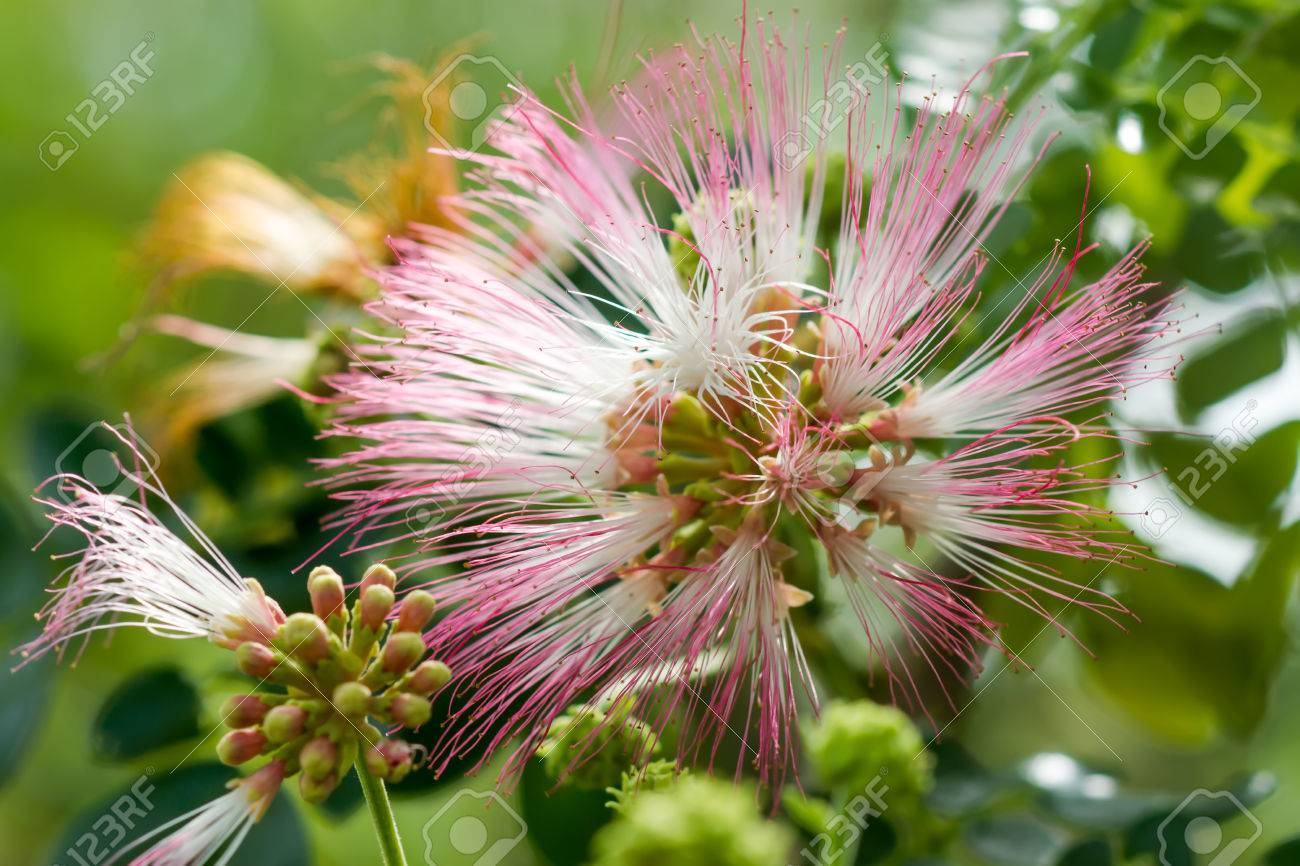 Close Up Pink Flower Of Rain Tree Scientific Name Samanea Saman