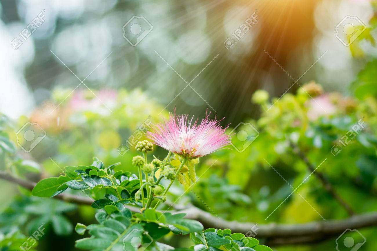 Pink Flower Of Rain Tree Scientific Name Samanea Saman Jacq