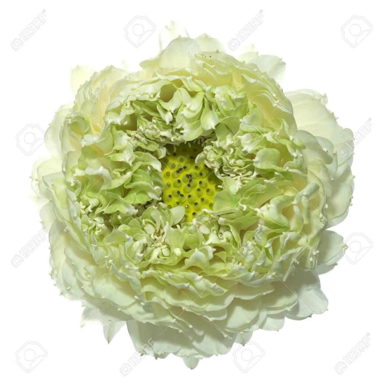 Flor De Loto Verde Gaertn Nueifera Nombre Científico Nucifera
