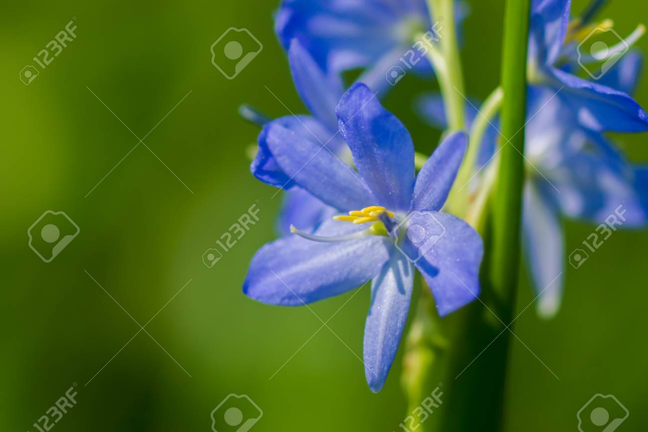 Light Purple Flowers Of Monochoria Elata Ridl Stock Photo Picture