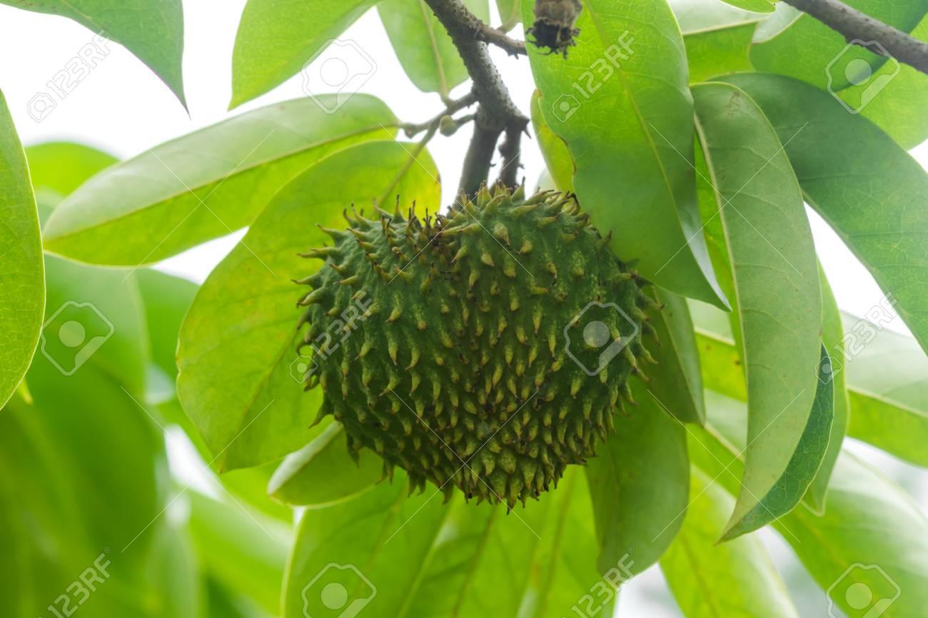 Raw Soursop fruit or Prickly Custard Apple  (Annona muricata