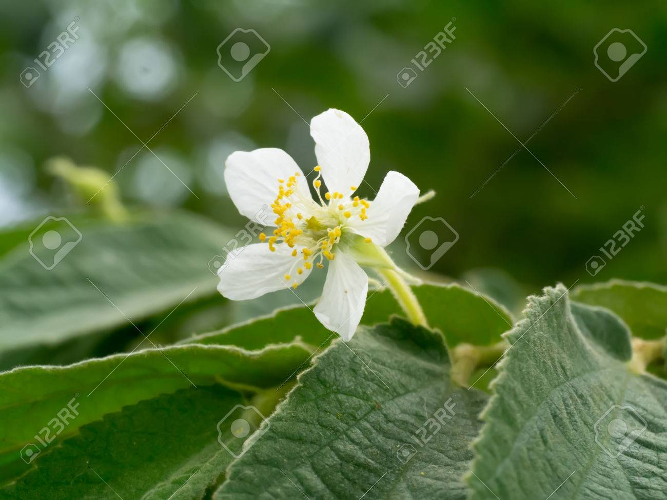 White Flower Of Indian Plum Flacourtia Jangomas Tree Stock Photo