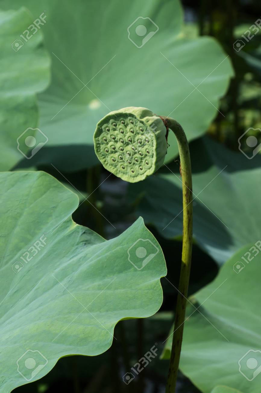 Pods And Seeds Of Lotus Flower Stock Photo Picture And Royalty