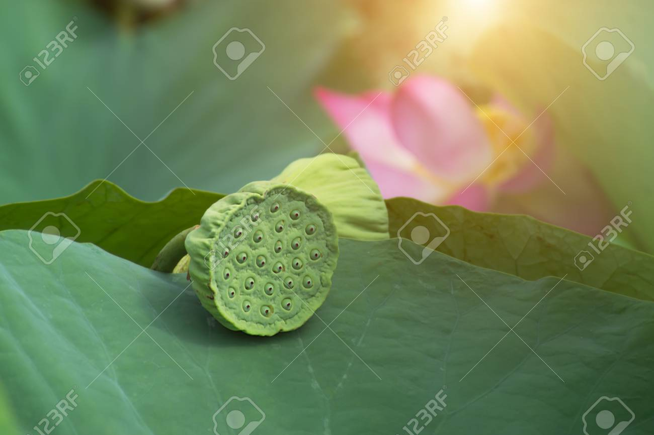Pods And Seeds Of Lotus Flower On Leaves With Sunlight Stock Photo