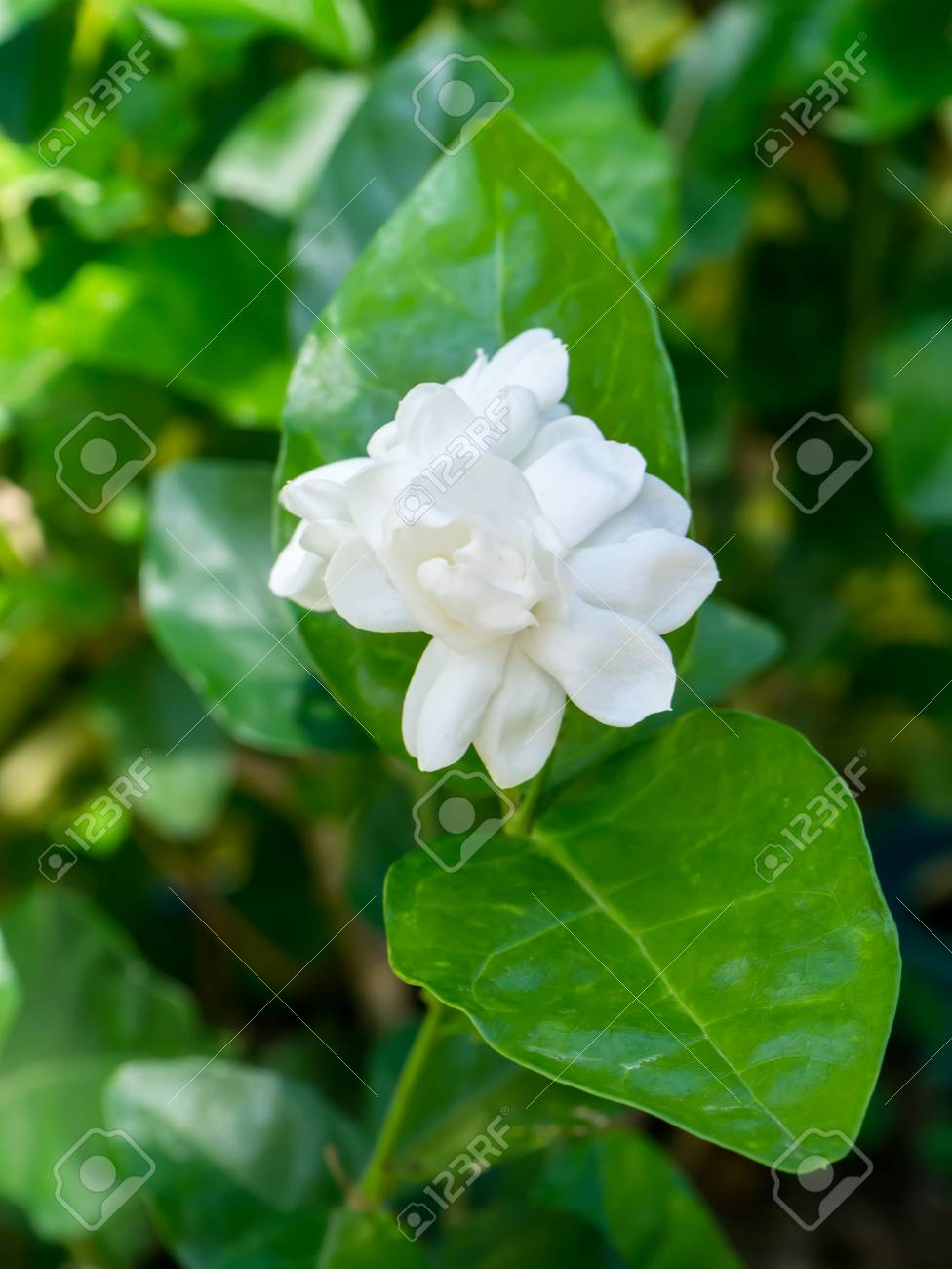 White Of Jasmine Flower Stock Photo Picture And Royalty Free Image