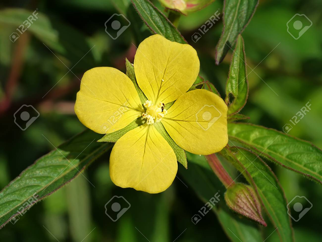 Yellow flowers have four petals stock photo picture and royalty stock photo yellow flowers have four petals mightylinksfo