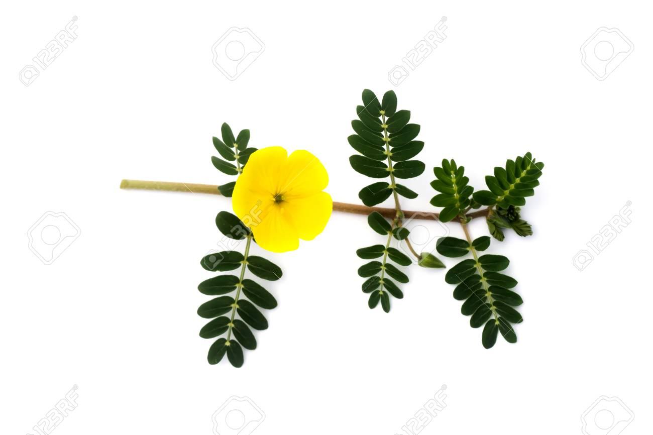 The Yellow Flower Of Devils Thorn Tribulus Terrestris Plant